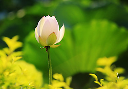 July 23, 2017 - Liuzhou, Liuzhou, China - Liuzhou, CHINA-July 23 2017: (EDITORIAL USE ONLY. CHINA OUT)..Lotus flowers blossom in Liuzhou, southwest China's Guangxi, July 23rd, 2017. (Credit Image: © SIPA Asia via ZUMA Wire)