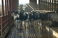 Dairy Cattle & Farming - Sample Gallery