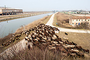 Fiume Adige in provincia di Rovigo, Veneto, Italy. Adige River. Pastore. Shepherd and sheep