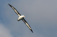Black-Browed Albatross in flight, Cape Canyon Trawl Grounds, South Africa