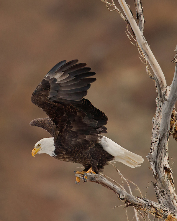 The wings of the bald eagle are long and broad, making them effective for soaring. Once airborne, bald eagles can fly to an altitude of 10,000 feet and during level flight a bald eagle can achieve speeds of 35 miles per hour.