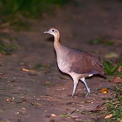 Macucos, inhambus, perdizes, codornas (Tinamídeos) - Tinamiformes / Tinamou, inhambus, partridges
