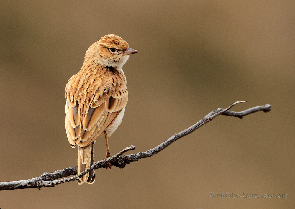 Fawn-colored Lark, Calendulauda africanoides, Tswalu, South Africa, by Jonathan Rossouw
