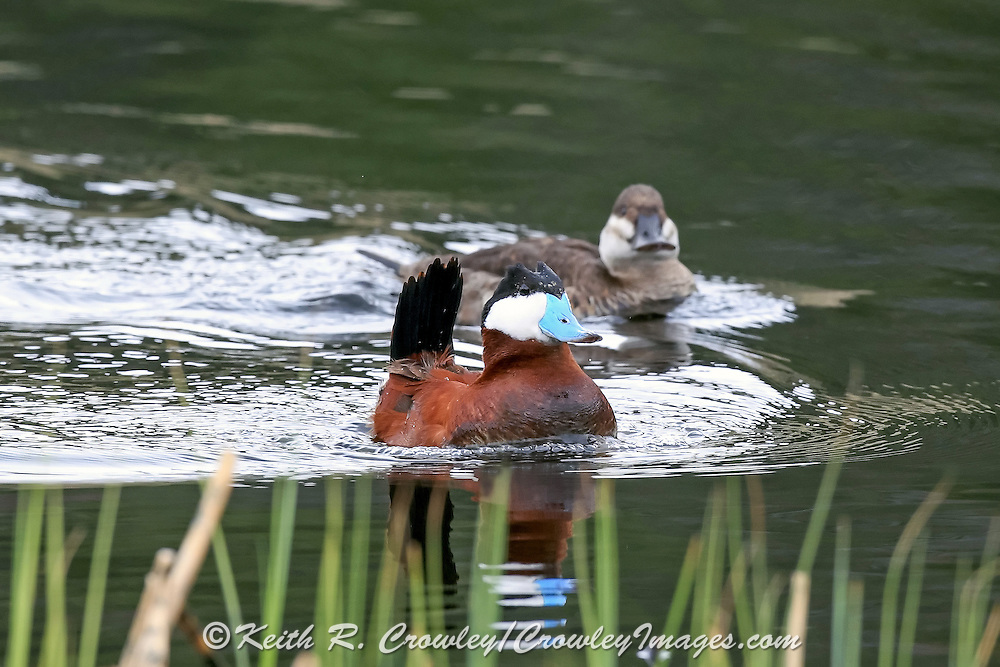 Ruddy Ducks, Mating Behavior