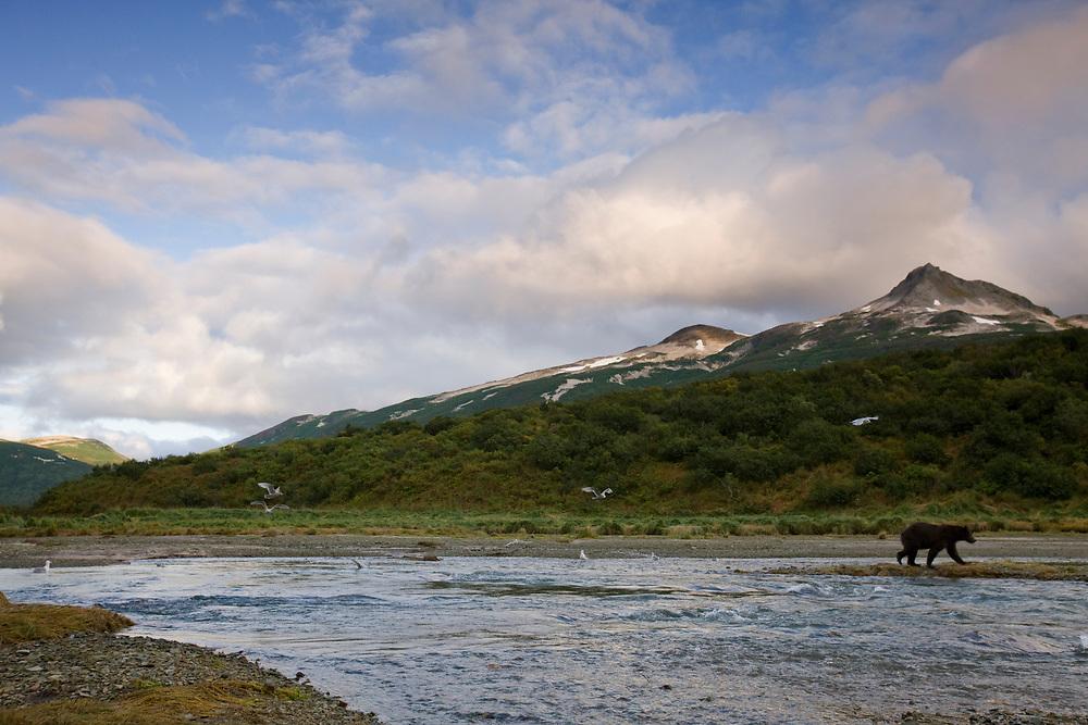 USA, Alaska, Katmai National Park, Kinak Bay, Brown Bear (Ursus arctos) walks along stream hunting for spawning salmon on autumn afternoon