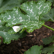 A butterfly rests on a courgette plant leaf in the Brondesbury Park station Energy Garden. The water is collected rain water and the pump is solar panel powered. Energy Gardens is a pan-London community garden project where reclaimed land alongside over ground train stations and track are cultivated by local community groups. Up 50 gardens are projected with the rail network being the connection grid. The project is a collaboration between Repowering London, local community groups and station managers working for TFL.