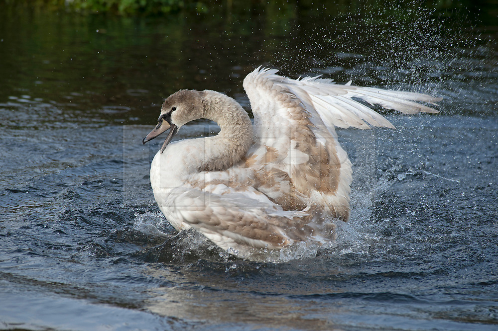 ©Licensed to London News Pictures 18/10/2019.<br /> Sidcup,UK, A Cygnet having a wash in the River Cray. An autumnal October afternoon at Footscray Meadows, Sidcup, South East London. Photo credit: Grant Falvey/LNP