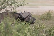 Trophy Cape buffalo in east African Habitat