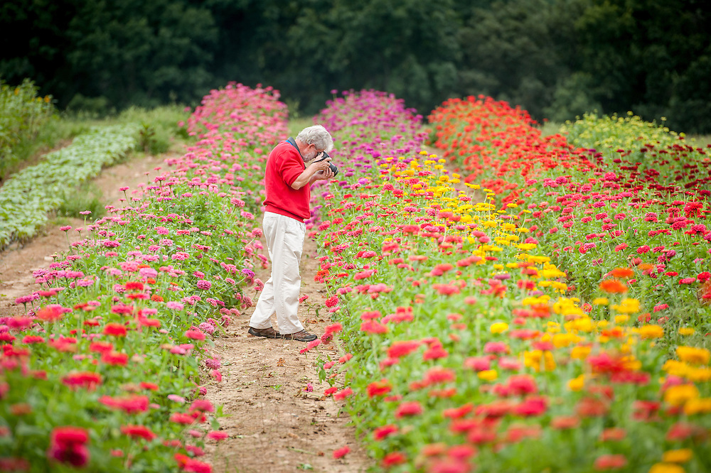 Man photographing Zinnas growing at a flower farm in Fallston, Maryland, USA