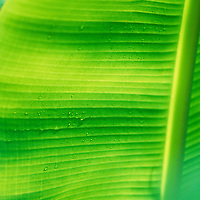 Fiji Islands, botanical, banana leaf