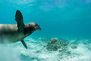 monk seal, Monachus schauinslandi, Tern Island, French Frigate Shoals, Papahanaumokuakea Marine National Monument, Northwest Hawaiian Islands ( Central Pacific Ocean )