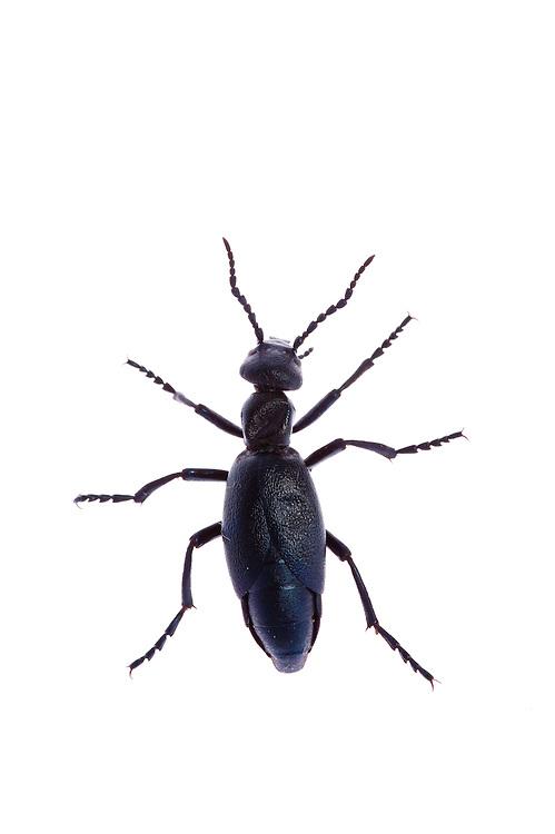 European oil beetle, Meloe proscarabaeus, Queyras, France, Europe