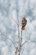 Red-tailed Hawk on a cold morning