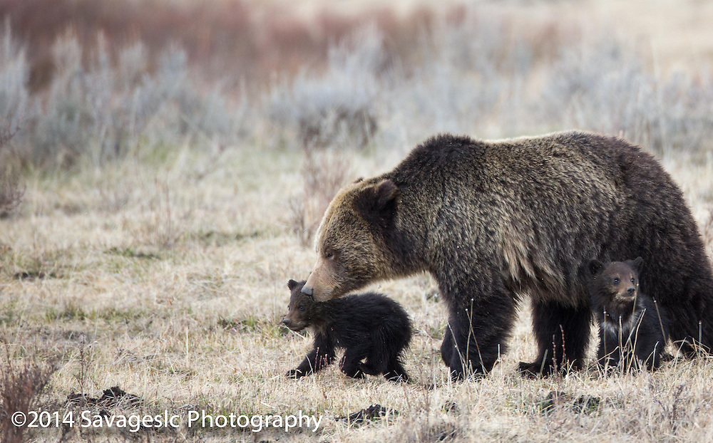 Grizzly bear with cubs.
