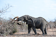 African Elephant (Loxodonta africana) male pushing tree from the ground so that it can feed from its roots. This tusker is believed to be 50 years old.