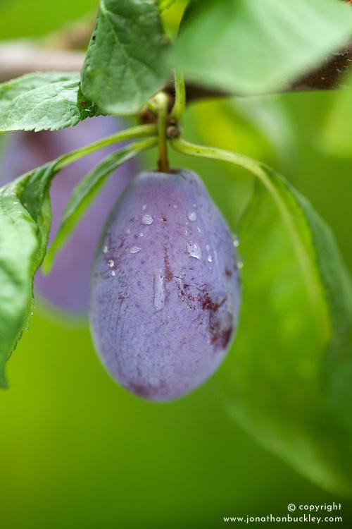 Plum 'Purple Pershore'