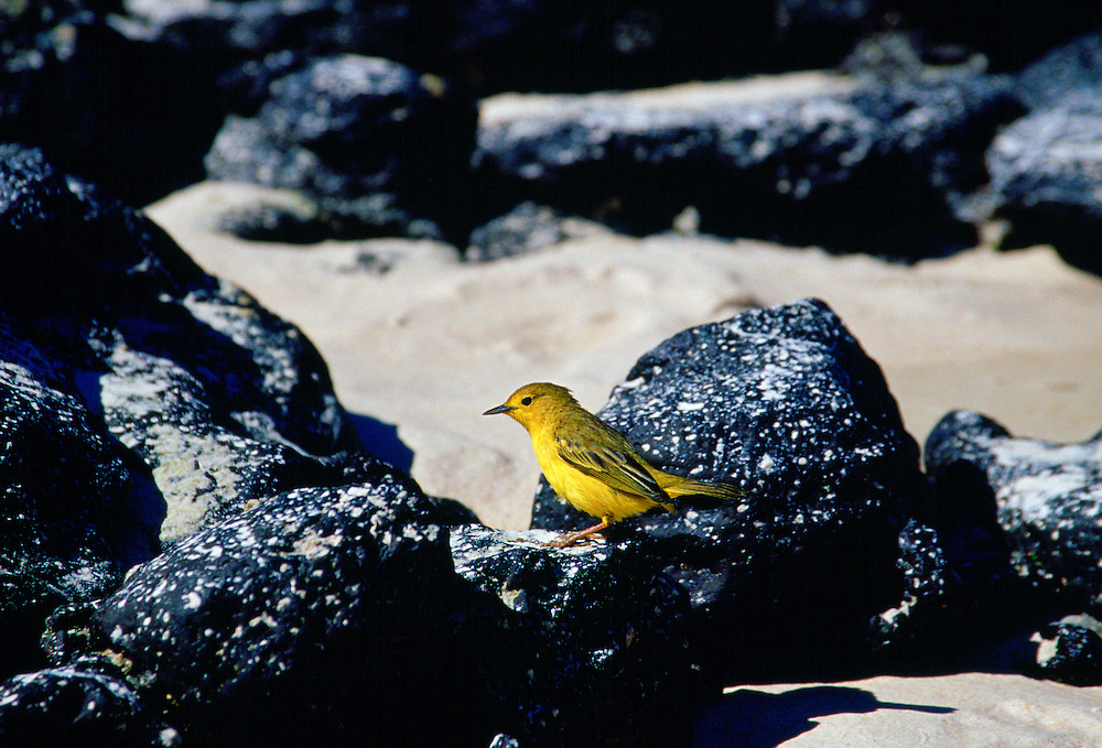 Yellow Warbler bird on rocks, Santa Cruz, the  Galapagos Islands, Ecuador