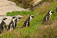 African Penguins, Boulders Beach, Table Mountain National Park, near Cape Town, South Africa