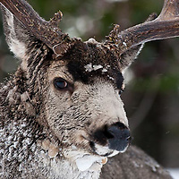 muledeer buck full face snowing