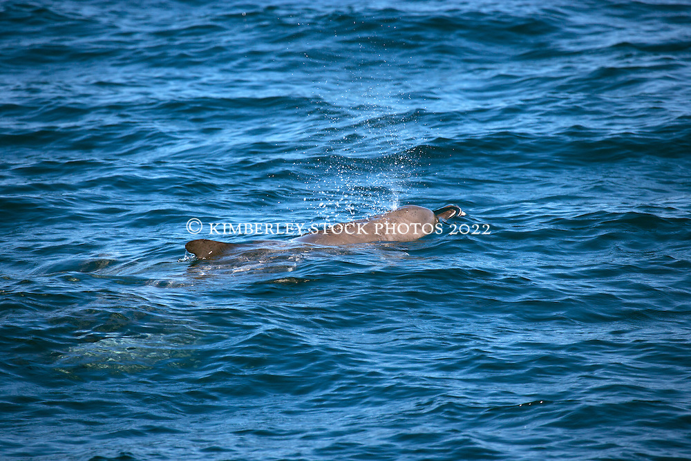 A pod of Bottlenose dolphins off Lombadina on the Dampier Peninsula.