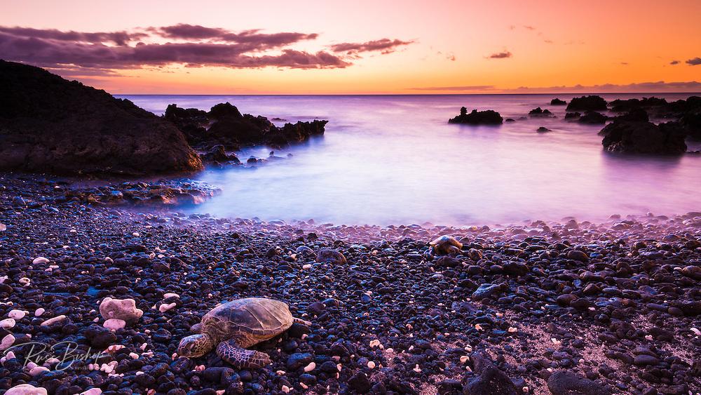 Hawaiian green sea turtles at sunset, Kohala Coast, The Big Island, Hawaii
