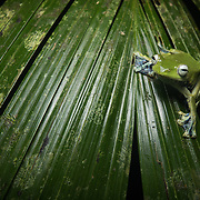 Norhayati's Tree Frog (Rhacophorus norhayatii) in Krabi, Thailand