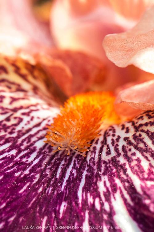 'Anaconda Love' intermediate bearded Iris