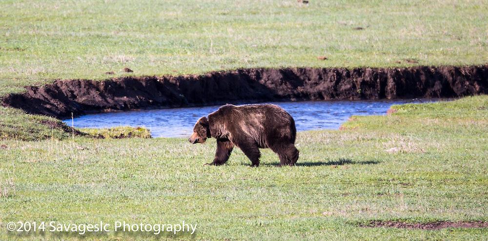 "Yellowstone's most famous grizzly bear 26 year old ""Scarface"" slowly making his way to a wolf kill."