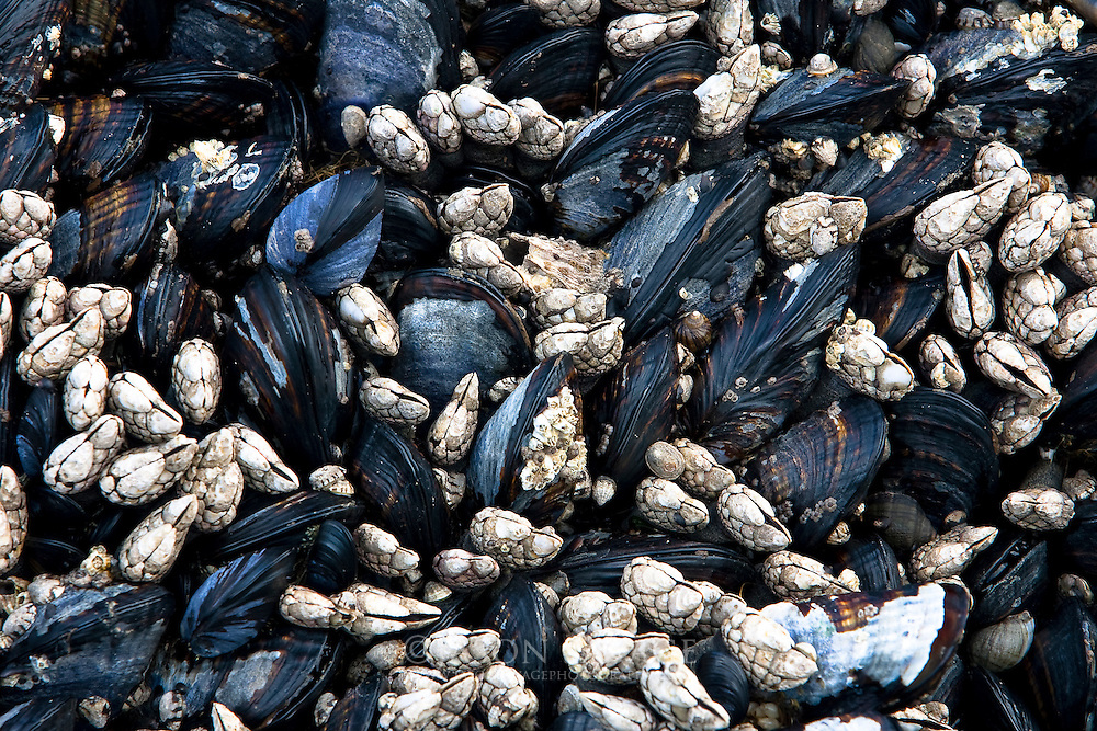 Mussels on Ruby Beach, Washington.