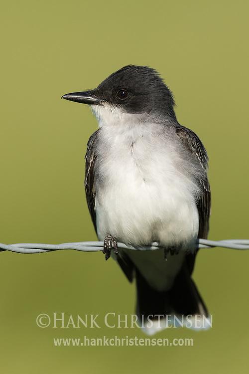An eastern kingbird perches on a wire fence, Wolf Island, Ontario, Canada.