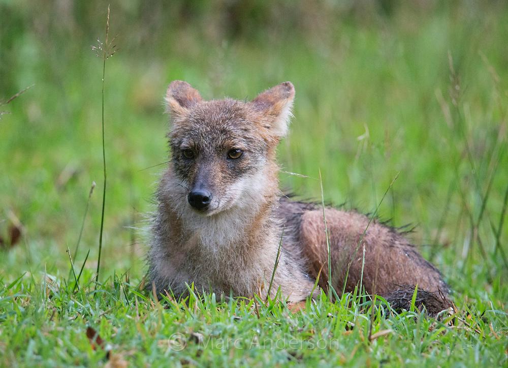 Siamese Jackal<br /> (Canis aureus cruesemanni), a subspecies of Golden Jackal, Huai Kha Khaeng Wildlife Sanctuary, Thailand