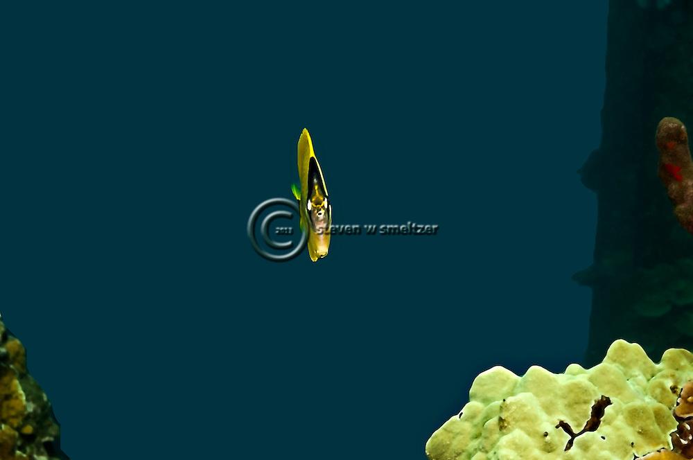 Milletseed Butterflyfish, Chaetodon miliaris, Quoy & Gaimard, 1824, Maui Hawaii