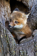 Red Fox kit peaking out of its tree hideaway.<br />
