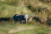 Aerial view of an African elephant (Loxodonda africana) walking in tall grass.