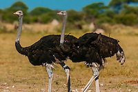 Male ostriches, Nxai Pan National Park, Botswana.
