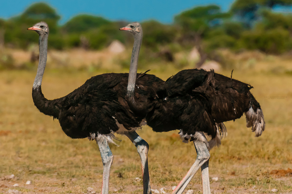Male ostriches, Nxai Pan National Park, Botswana.