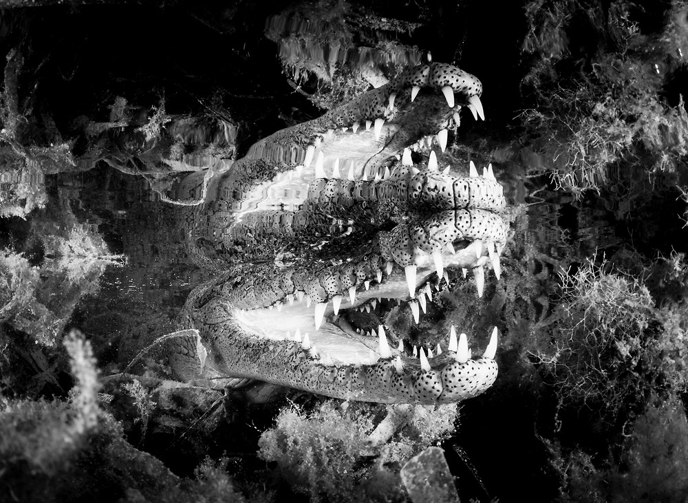 The jaws of an American crocodile in Cuba's mangrove and seagrass habitat. Image is in black and white.