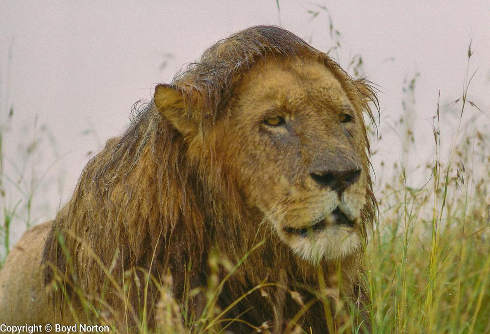 Male lion in rainstorm