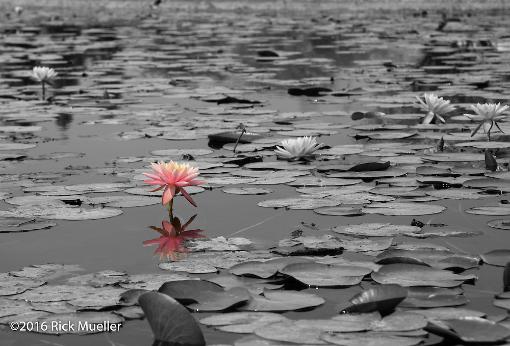 A lone lotus flower in color among a sea of black and white