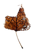 disintegrating leaf