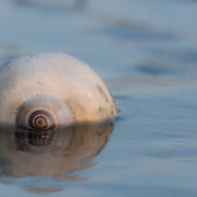 A moon snail shell on Alki Beach in West Seattle, Washington.