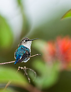 Bee Hummingbird (Mellisuga helenae), female, perched. Cuba