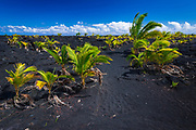 Young coconut palms at the new Kaimu black sand beach, Kalapana, The Big Island, Hawaii USA