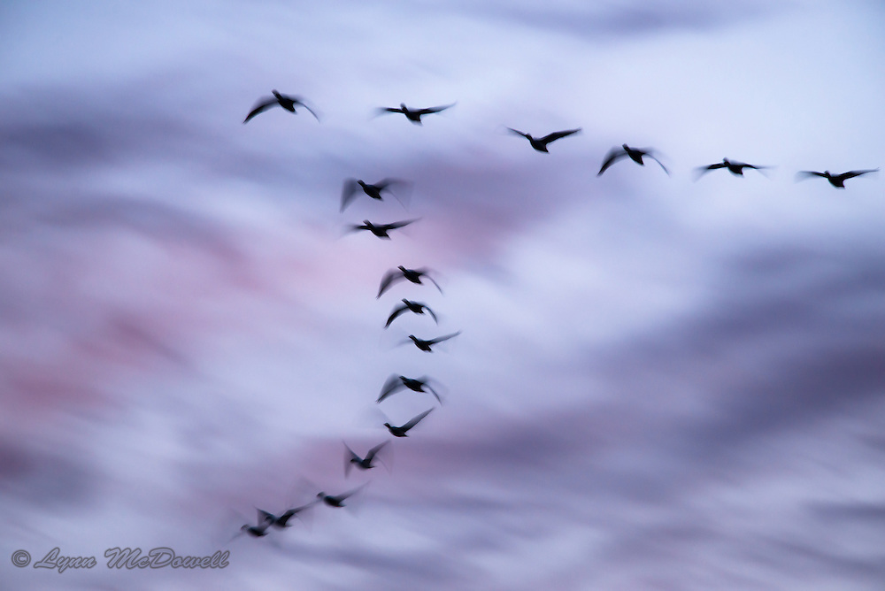 As the sun set below the horizon, this flock of Canada Geese flew past on the way to their evening roost. The slow shutter speed created an image of movement in their wings against the colors of the night sky.