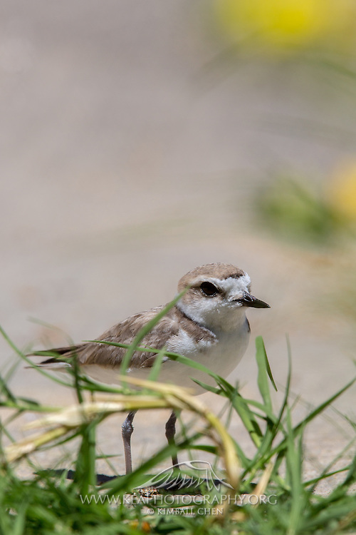 Snowy Plover, Southern California, North America