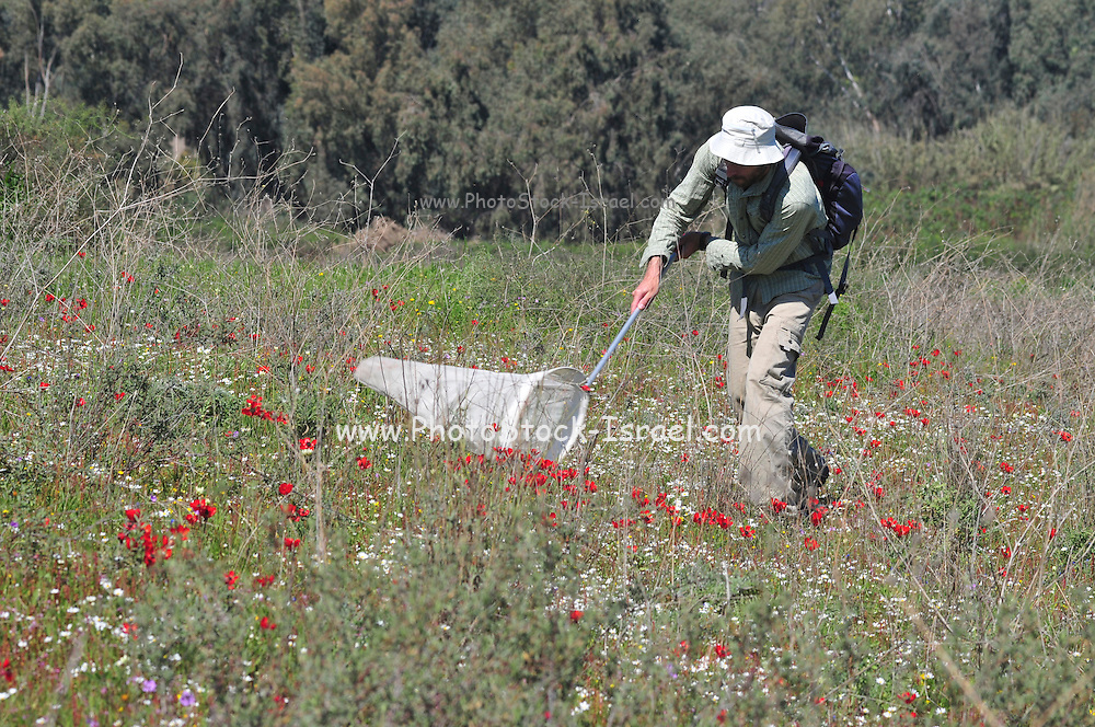 Collecting insects. Entomologist using netting to catch insect specimens in a spring field in Israel