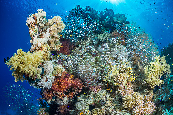 A profusion of life surrounds this coral pinnacle. Corals provide shelter and protection for many animals, which in turn makes for rich hunting grounds for predators. Unfortunately, the outlook for magnificent corals like this is poor. The combination of rising sea temperatures and the acidification of the oceans meand that despite the COP21 treaty, it seems unlikely that they will survive.