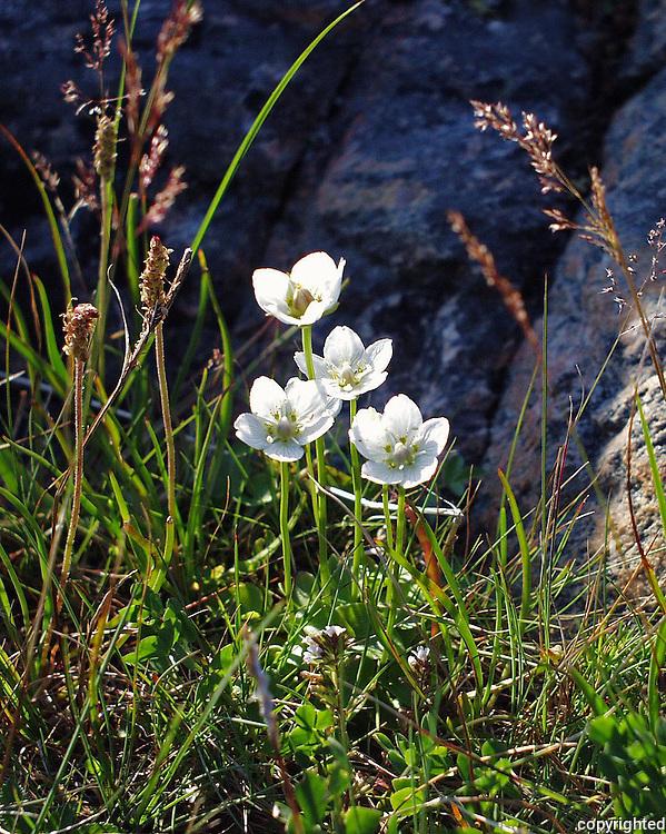 Mountain flowers in Tr&oslash;ndelag, Norway. J&aring;blom(Parnassia palustris). Engl: Marsh Grass-of-Parnassus, Northern Grass-of-Parnassus, or Bog-star. County flower of Cumberland and Sutherland in the United Kingdom. <br /> J&aring;blom ble f&oslash;r brukt som middel mot ulike &oslash;yenplager, og ved tungsinn. Regnes som astringerende, svakt urindrivende, beroligende, styrkende og s&aring;rhelende. Liten medisinsk betydning i dag.