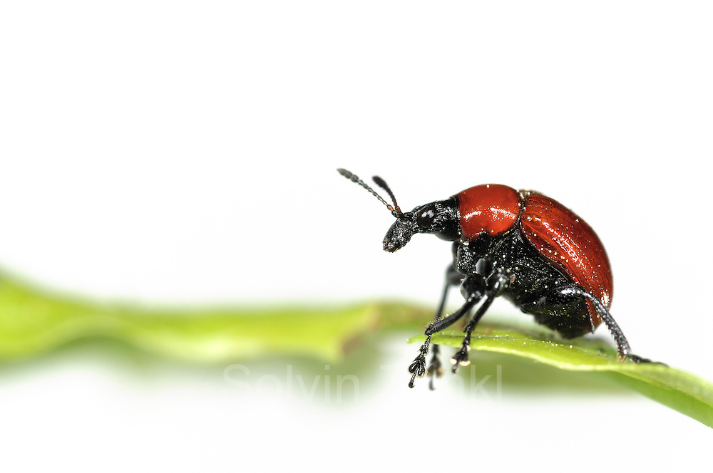 Oak Leaf Roller Beetle (Attelabus nitens) Göhrde, Germany (sequence 2/9) | Der weibliche Eichenblattroller (Attelabus nitens) untersucht ein Eichenblatt, bevor er mit dem Bau seiner Kinderstube beginnt.