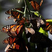 """Temascaltepec, Mex.- Mariposas Monarca """"Danaus Plexippus"""" invernan en los bosques de oyamel del santuario de Piedra Herrada, a 100 kilómetros al poniente de la ciudad de México; la mariposa viaja mas de 5 mil kilómetros desde la región de los grandes lagos en Canada y arriban en su ciclo migratorio mas de 300 millones de insectos a la biosfera de conservación en los limites del Estado de México y Michoacán donde permanecen hasta finales del mes de Marzo. Agencia MVT / Arturo Rosales Chávez. (DIGITAL)<br /> <br /> <br /> <br /> NO ARCHIVAR - NO ARCHIVE"""